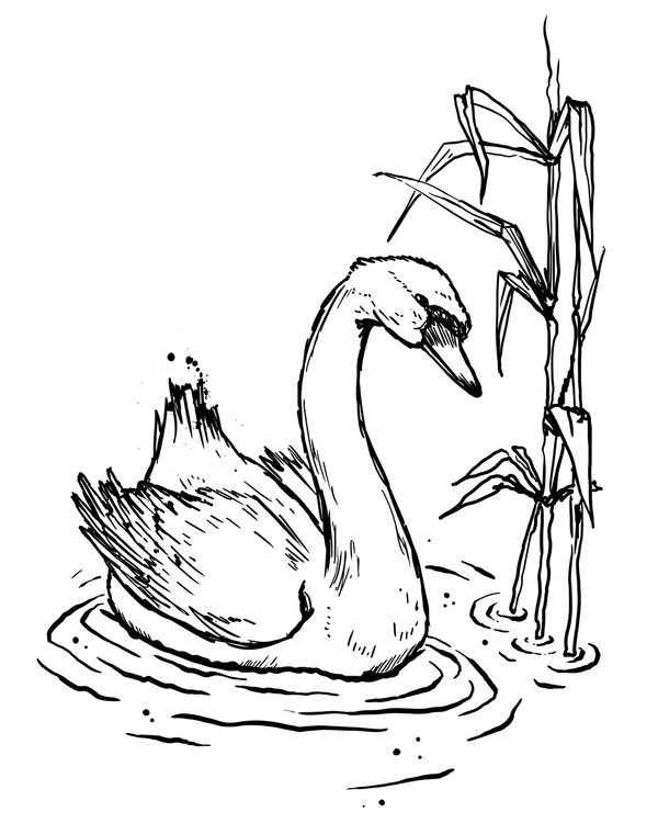 Zeichnung eines schwimmenden Schwans im Schilf
